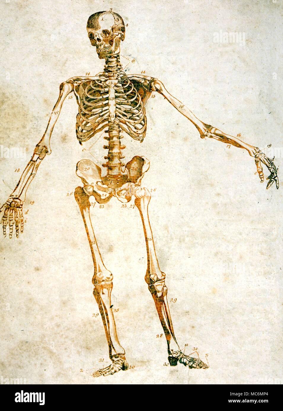 Tolle Skelett System Informationen Galerie - Menschliche Anatomie ...