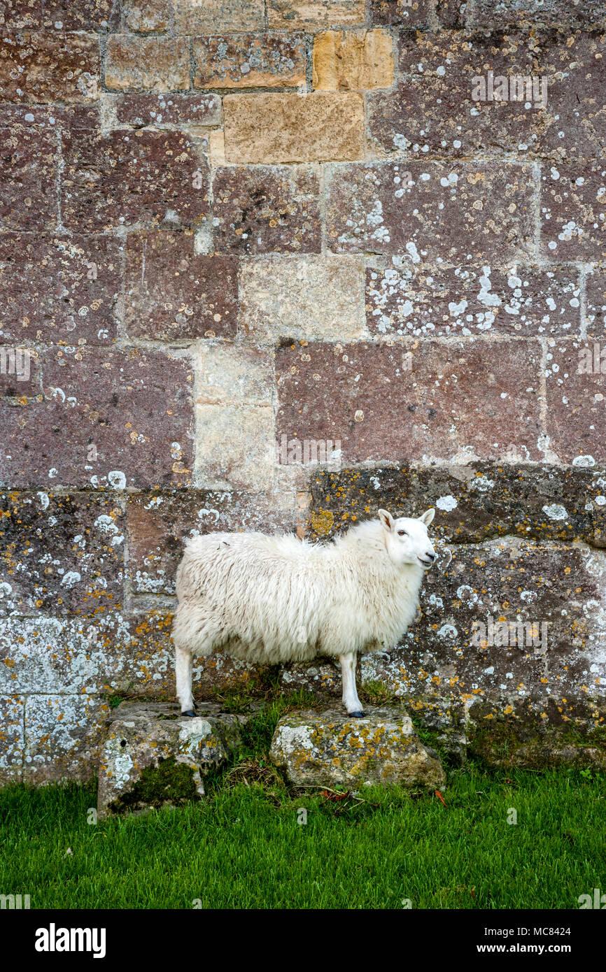 Weiß konfrontiert Schafe ewe auf zwei steinblöcke, der von einer Steinmauer auf Woodspring Priorat in Somerset UK posing Stockbild