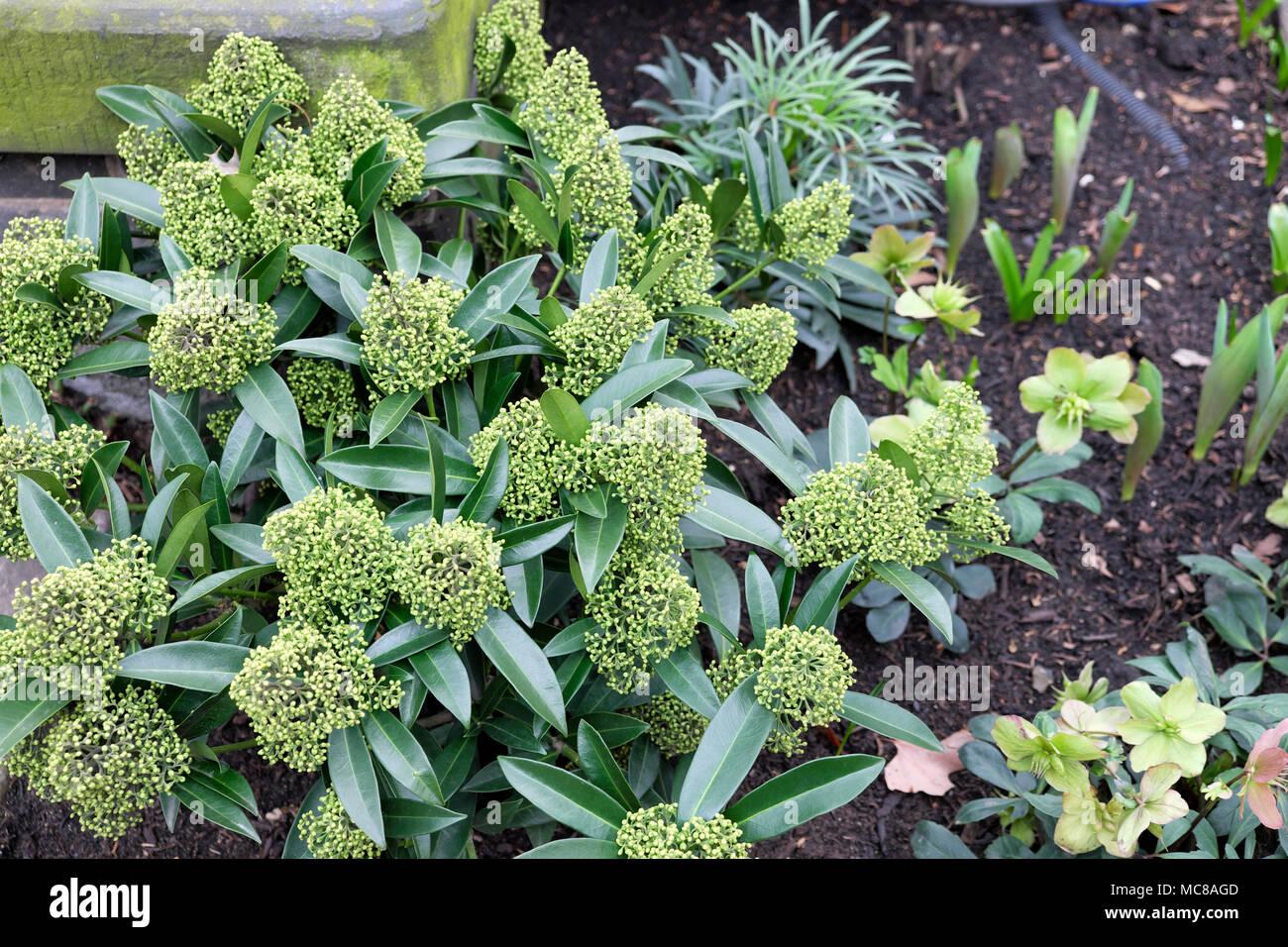 Skimmia x confusa 'Kew Green' duftenden Strauch mit geschlossenen Knospen wächst im Winter ein Garten, dessen Blüten im Frühjahr London UK KATHY DEWITT Blüte Stockfoto
