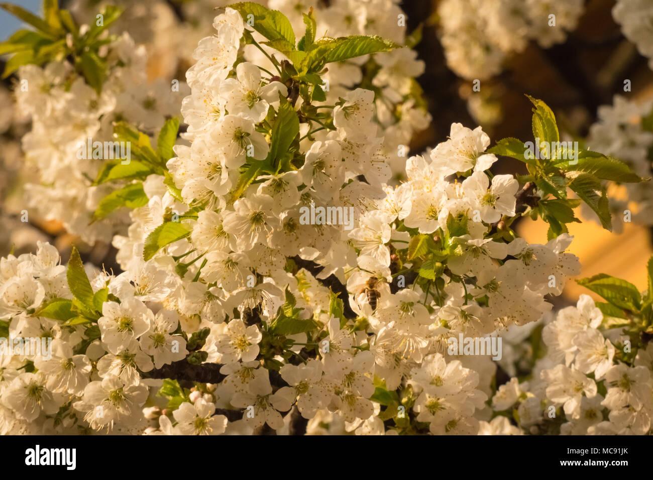 Weißen Kirschblüten im Frühling. Prunus avium. Stockbild