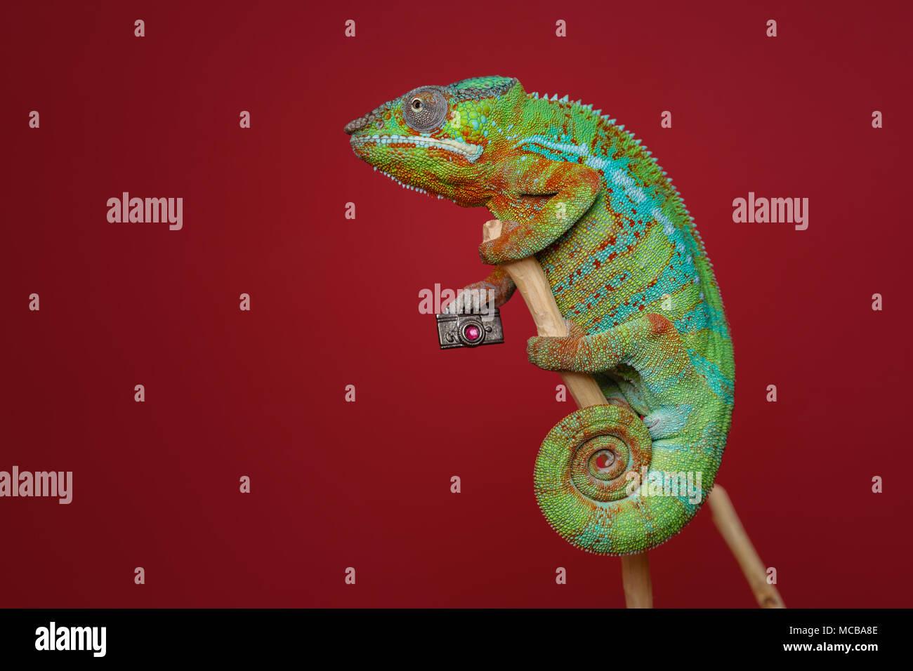 Lebendig chameleon Reptile Holding kleine Foto Kamera sitzen auf Zweig. Studio shot über den roten Hintergrund. kopieren. Stockbild