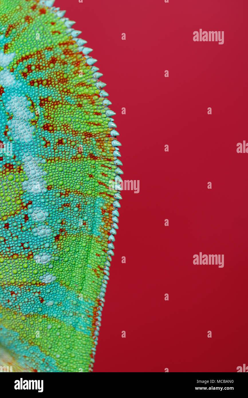 Chameleon reptile Haut. Makro studio shot über den roten Hintergrund. kopieren. Stockbild