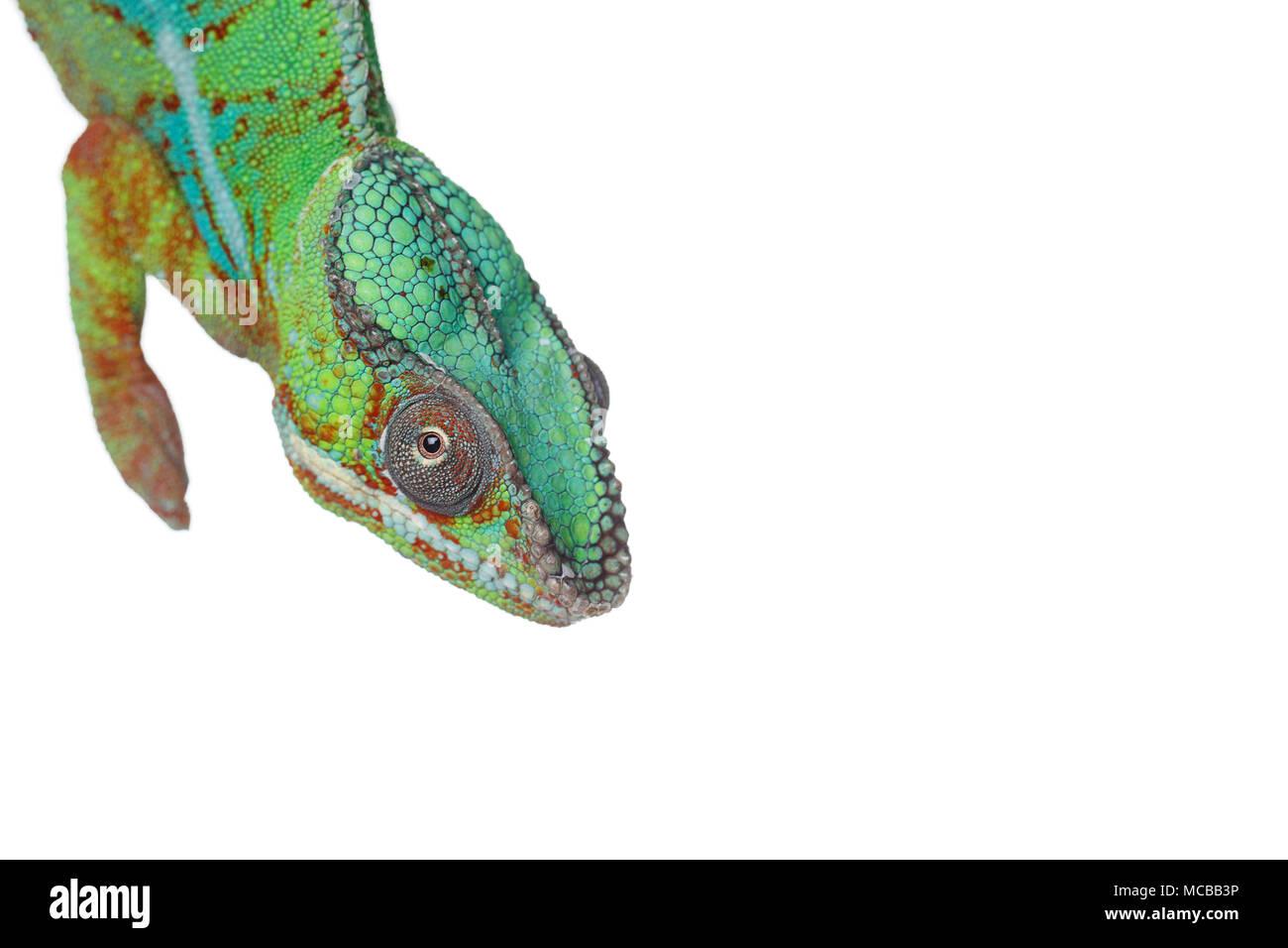 Lebendig chameleon Reptile auf weißem Hintergrund. studio Schuß über weißem Hintergrund. kopieren. Stockbild