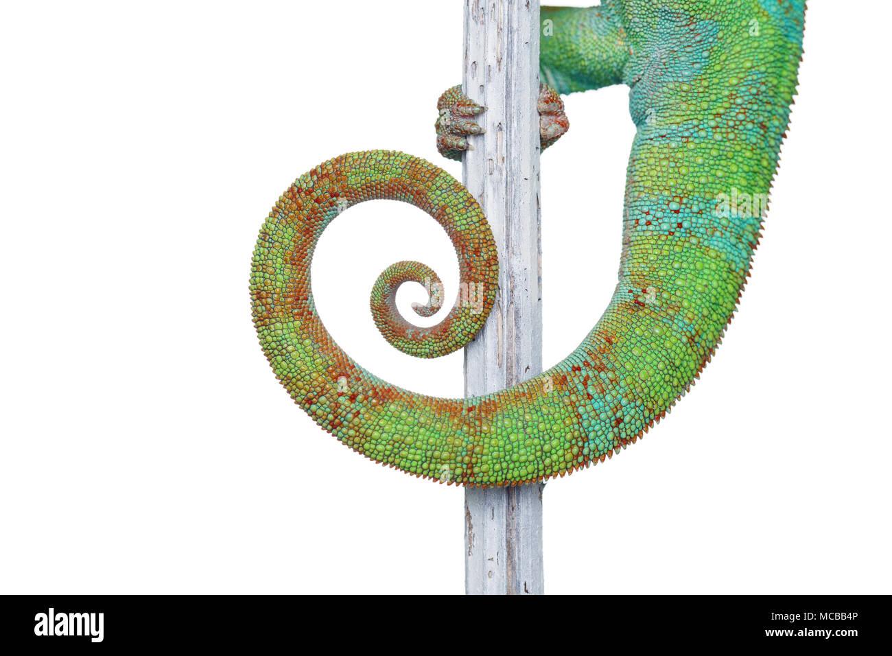 Lebendig chameleon Reptile sitzen auf Zweig. Makro studio geschossen von reptile Schwanz auf weißem Hintergrund. kopieren. Stockbild