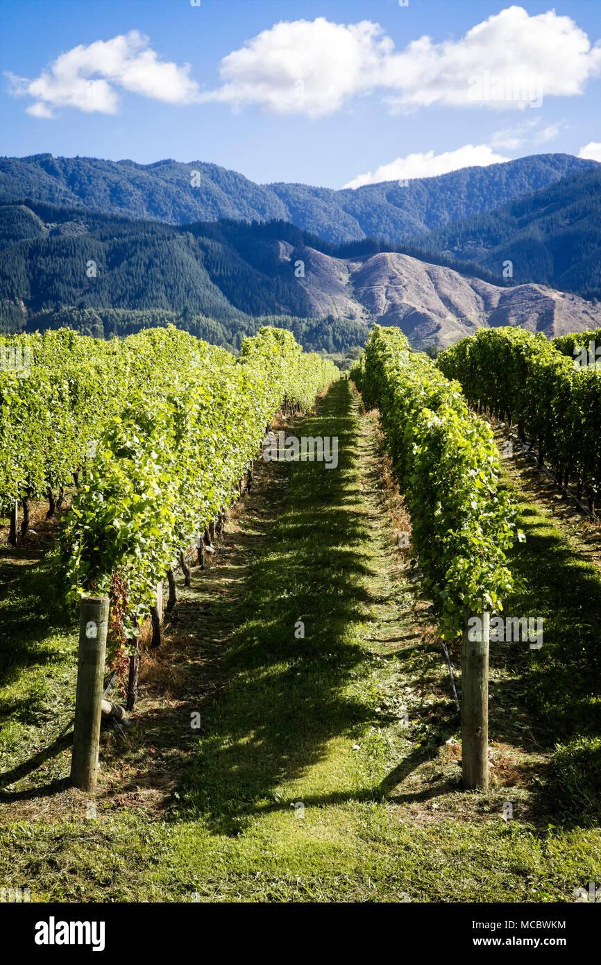 Weinberge in der Region Marlborough, Südinsel, Neuseeland Stockfoto