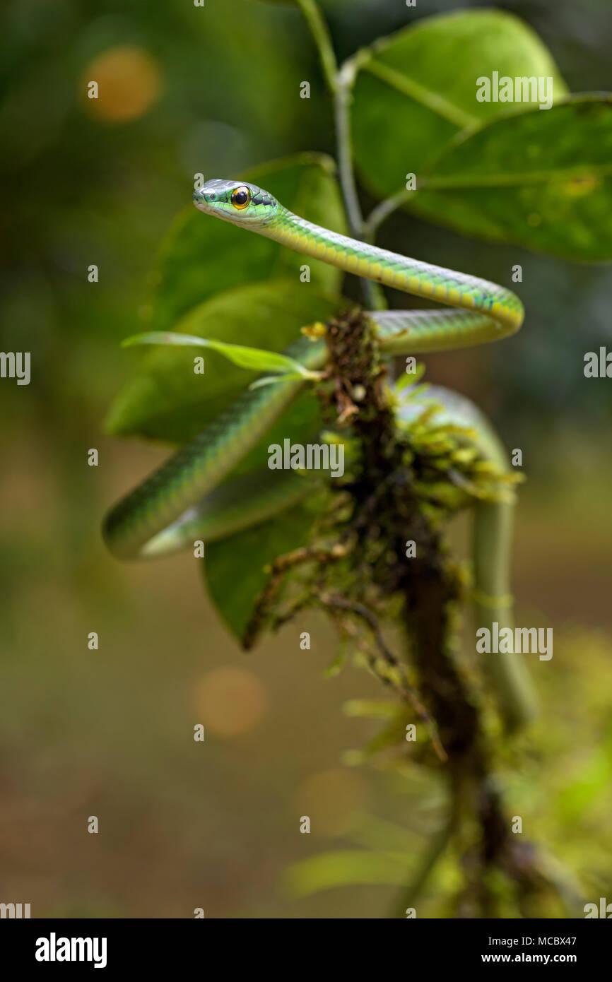 Bewältigen der Kurz- spitzzange Weinstock Schlange - Oxybelis brevirostris, schöne kleine grüne nicht venoumous Schlange aus Mittelamerika Wald, Costa Rica. Stockfoto