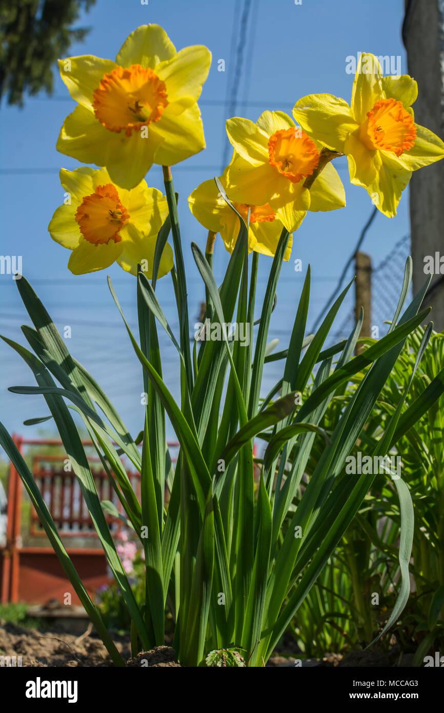 Gelbe Narzissen Bluhen Blumen Fruhling Blumen Blumen Bluhen Im