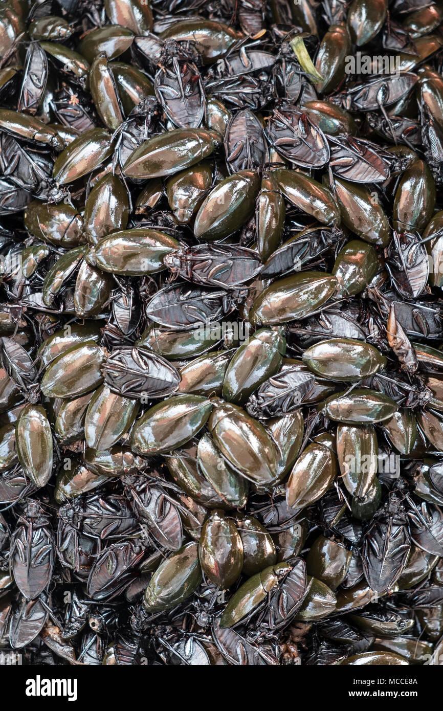 Gebratenes wasser Käfer für Verkauf an einem strassenrand in Kambodscha Abschaltdruck Stockbild