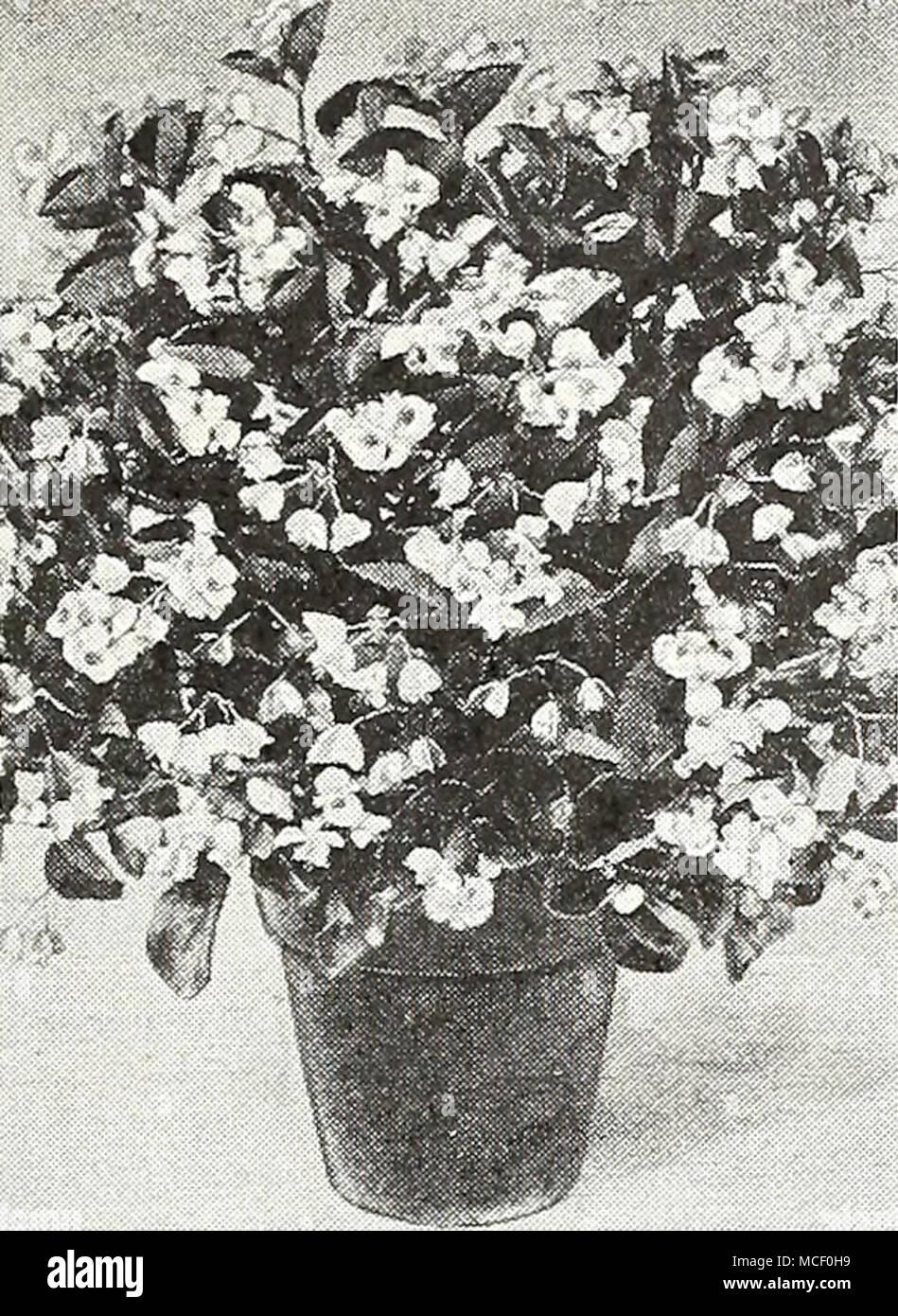 Bettwäsche Bettwäsche Begonien Begonia Everblooming ...
