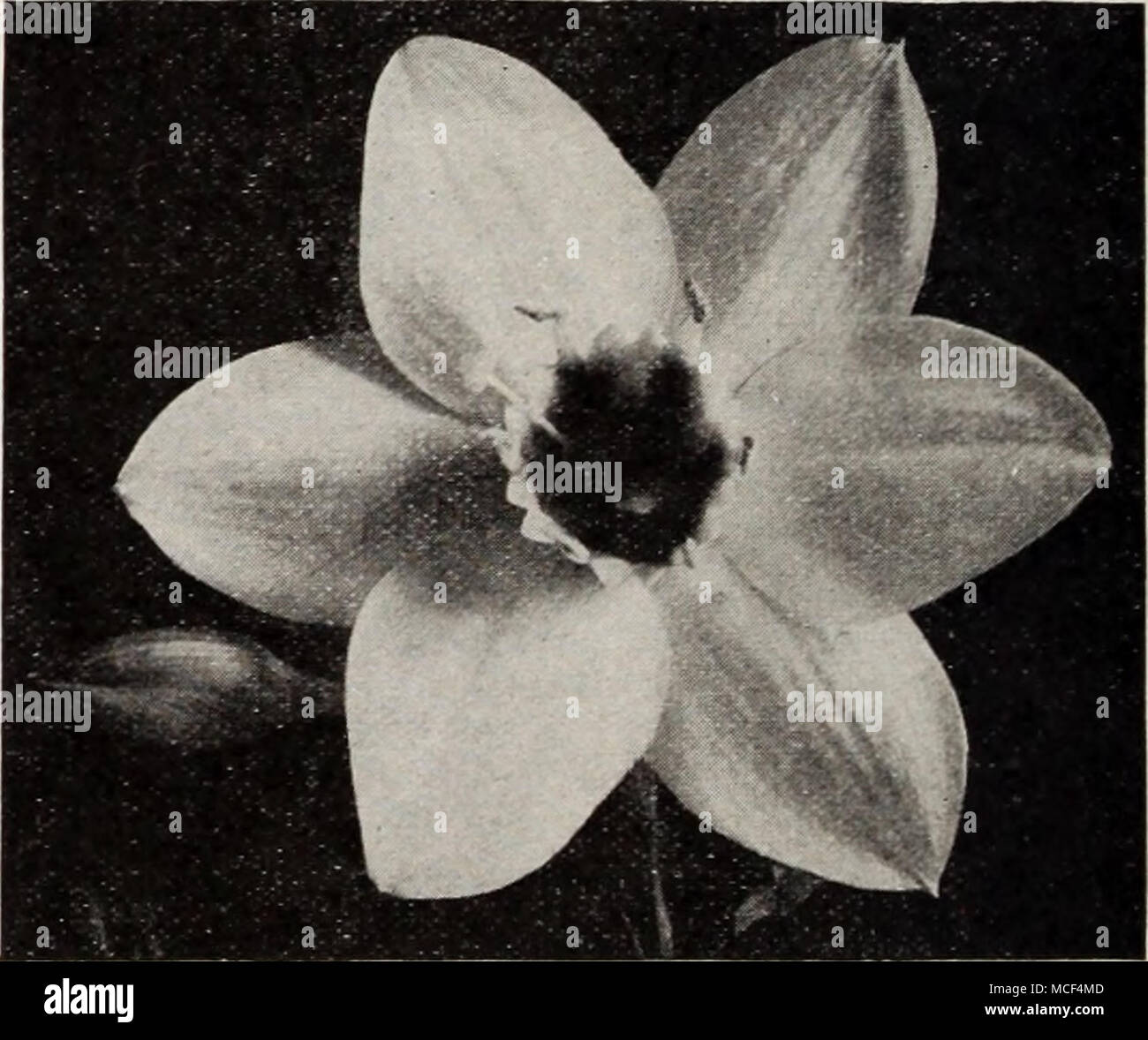Eucharis Amazonica Eucharis Amazon Lily Amazonica Eine