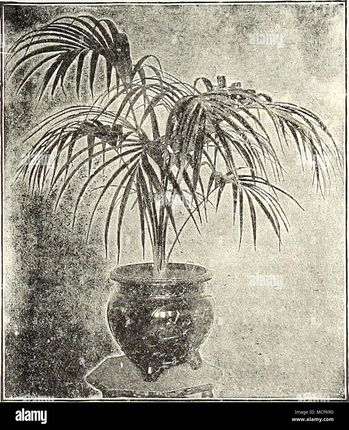 Kentia Belmoreana Angebot Der Palmen Wir Eine Sparsame Junge Pflanze