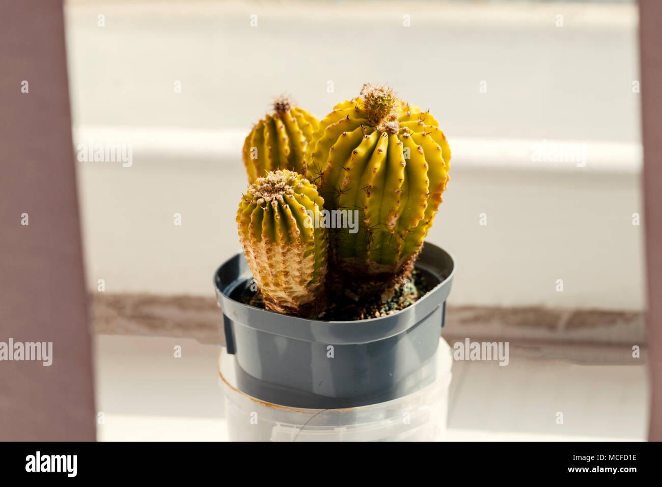 Kakteen Sind In Einem Topf Auf Der Fensterbank Zimmer Pflanzen In