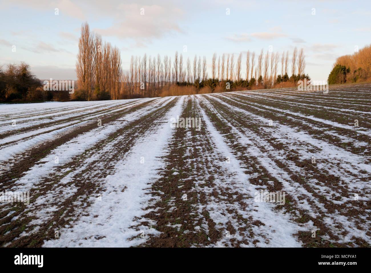 Schmelzender Schnee in Furchen in gepflügten Feldes mit bloßen Pappeln in Distanz, Ebrington, Cotswolds, Gloucestershire, England, Vereinigtes Königreich, Europa Stockbild