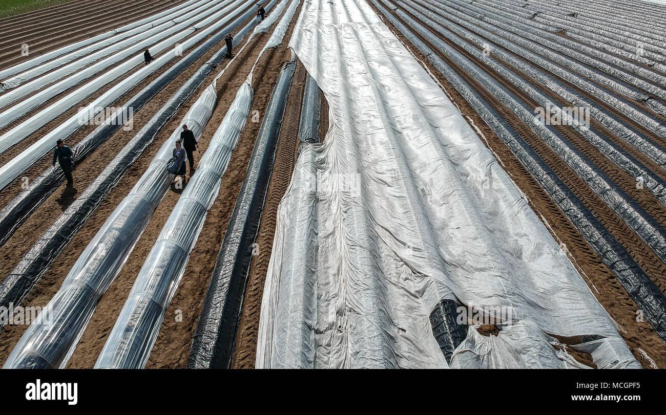 96a7e4bc80be April 2018, Harnbek, Deutschland  Arbeitnehmer starten Sie den Spargel  Ernte auf ein Feld im Kreis Herzogtum Lauenburg. Die spargelsaison hat jetzt  in ...