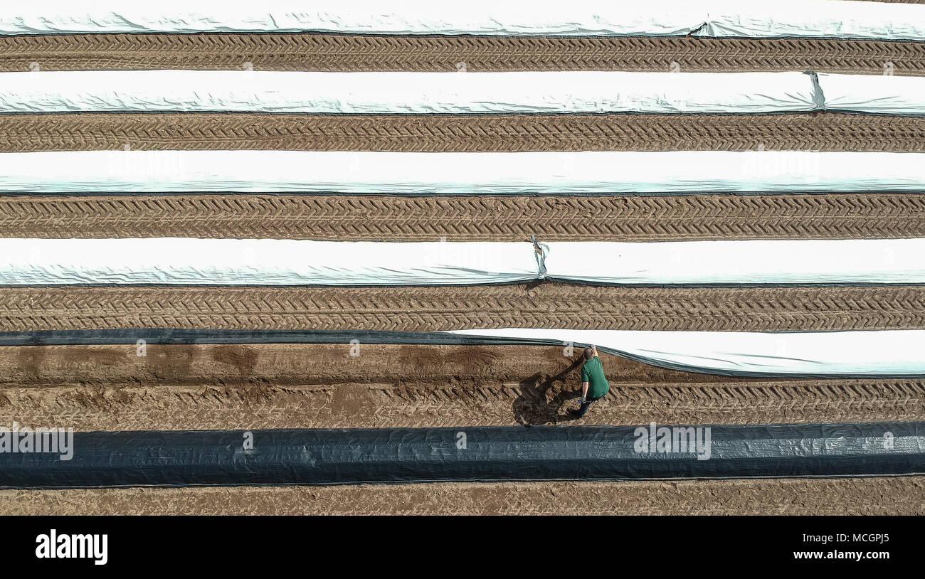 c41713d80d93 ... Arbeiter steuert das Wachstum der weiße Spargel auf einem Feld im Kreis  Herzogtum Lauenburg. Die spargelsaison hat jetzt in Schleswig-Holstein  eröffnet.
