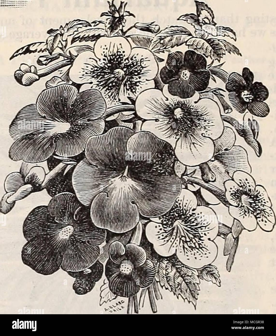 Achifienes Tropische Pflanzen Für Sum Mer Blühen Die Schuppigen