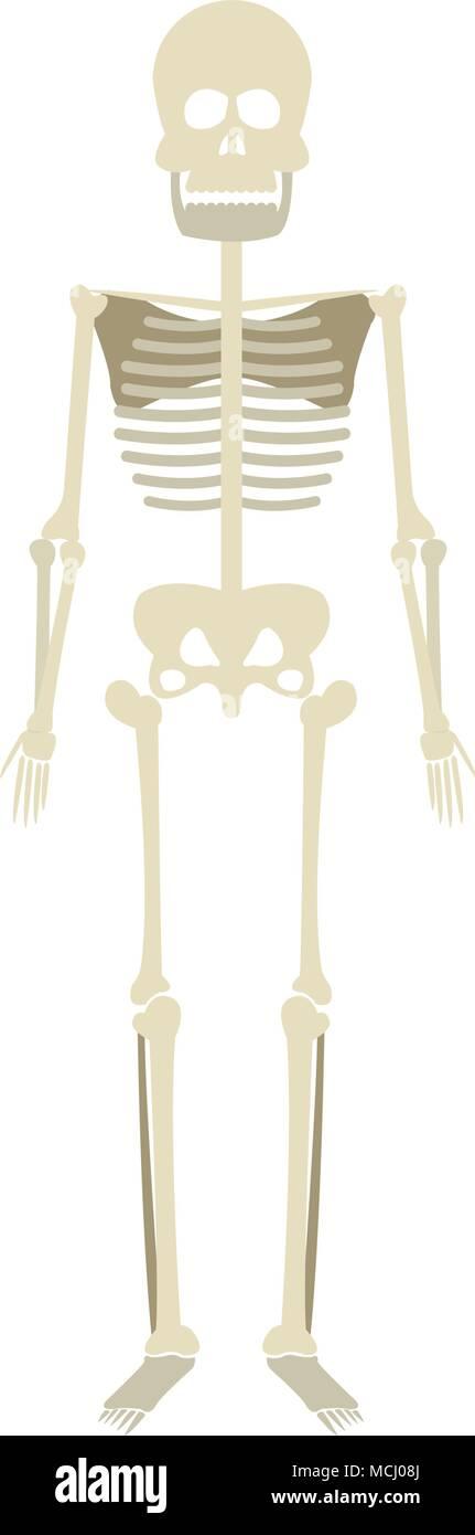 menschliches Skelett Modell Stockbild