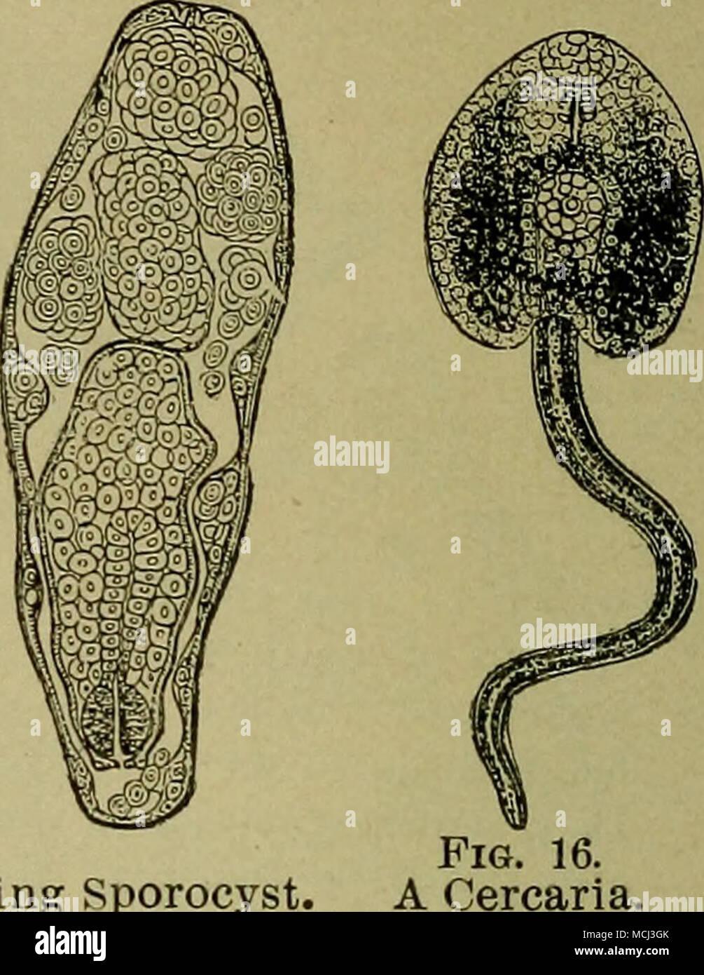 Abb 15 Eine Reife Und Division Sporocyst Bauchige Zuerst Die