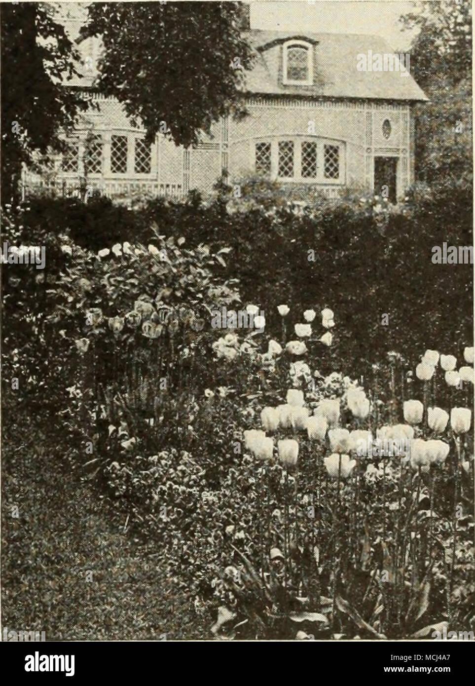 . Darwin Tulpen bringen reiche und brillante Farben in Ihre kann Grenzen May-Time Mischung aus Tulpen eine unvergleichliche Mischung in ein Spektrum an Farben für den Reichtum der Farbe dieses Gemisch übertrifft alles, was Sie sonst noch angeboten, da sie bis zum genannten Sorten von Darwin, Cottage Garten gemacht, und Züchter Tuhps, dass Farbe mehr ist als in Mischungen der einzelnen Klassen, die aufgenommen werden können. Wie alle Diese sind Mai - Blüte und ähnlich in der Gewohnheit, Statur und Größe der Blüte der Effekt mit ihnen erreicht werden wirklich hervorragend ist. 3 Für 25 c; 12 für 80 C; 100 für 5 $. Stockfoto
