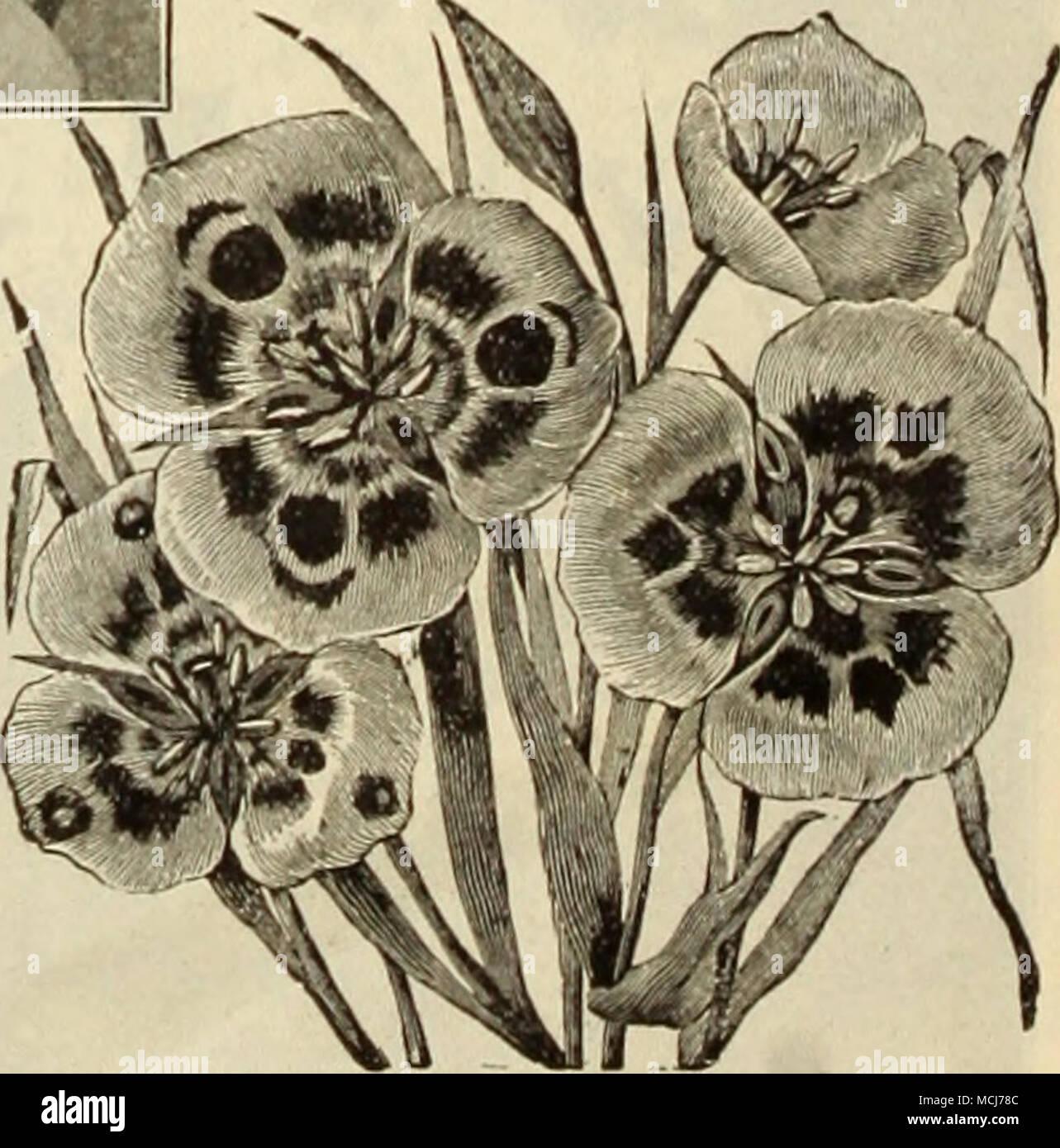 . Der CAIOrHORTI ldie Mai-blühenden Bauerngarten und Darwin Tulpen sind stark zum Schneiden geschätzt. Siehe Seiten 10 und 11. Stockfoto