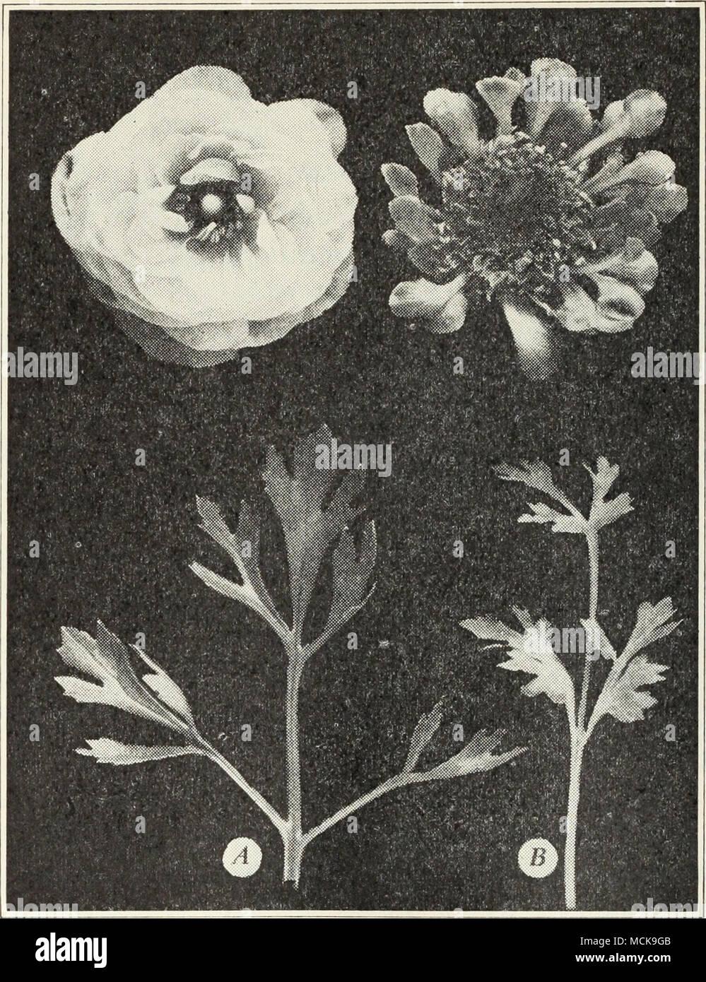 Abb 25 A Normale Ranunculus Blume Und Blatt B Wirkung Von