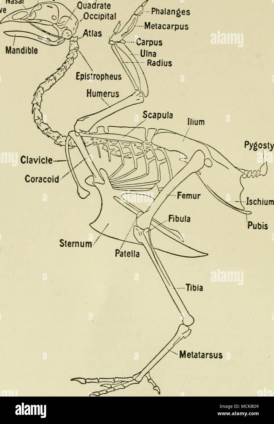 Hintermittelfuss Abb. 1. Das Skelett der Vögel. (Bradley) Die ...