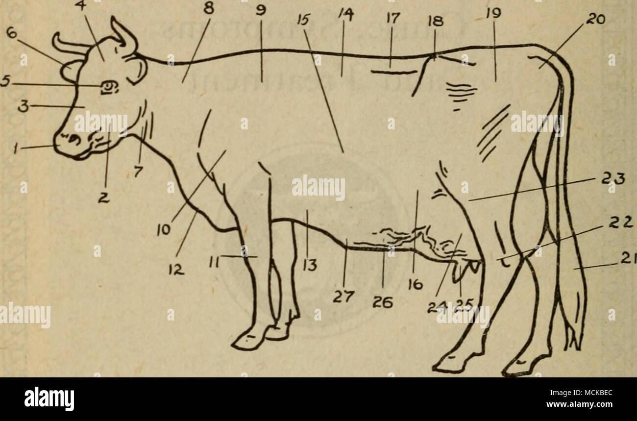 Wunderbar Kuh Euter Anatomie Fotos - Anatomie Von Menschlichen ...