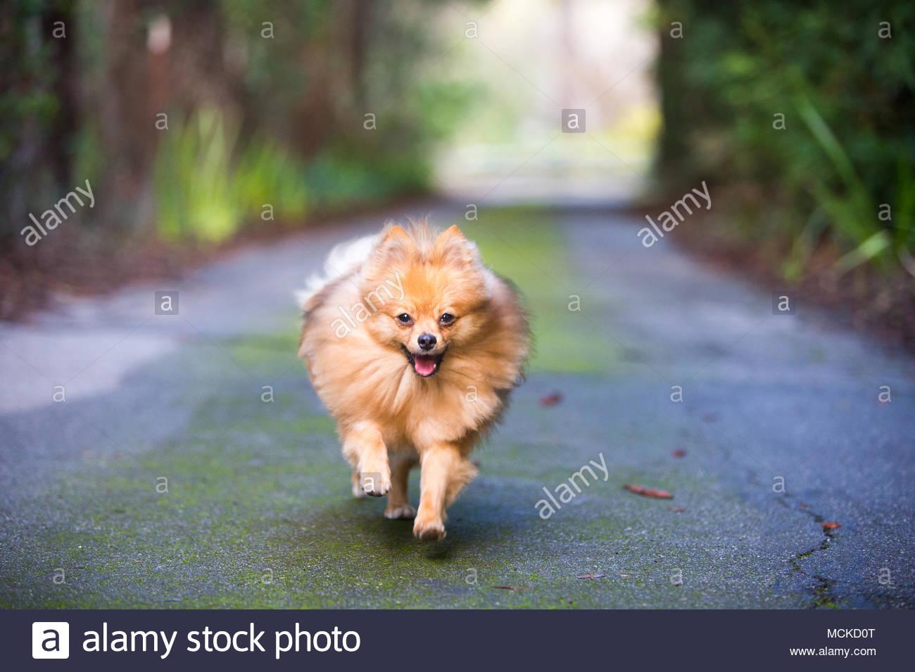 Red Pomeranian in Richtung Kamera auf der Straße mit viel Grün im Hintergrund Stockbild