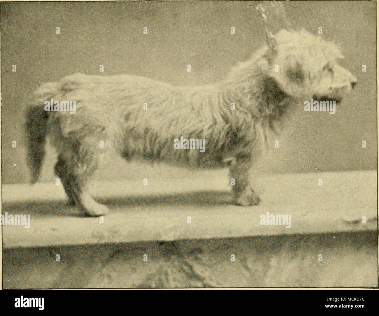 Der Dandie Dinmont Terrier King O The Heather Die Eigenschaft Von