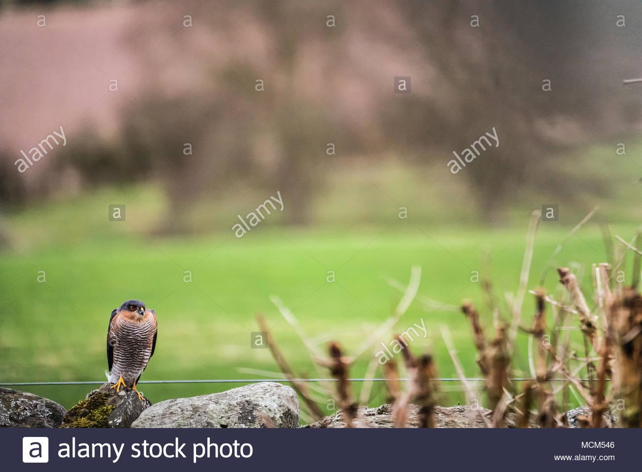 Ein männlicher Sperber (Accipiter nisus) wacht in Verfahren aus einem Garten Wand in Oxnam Dorf in den schottischen Borders. Stockfoto