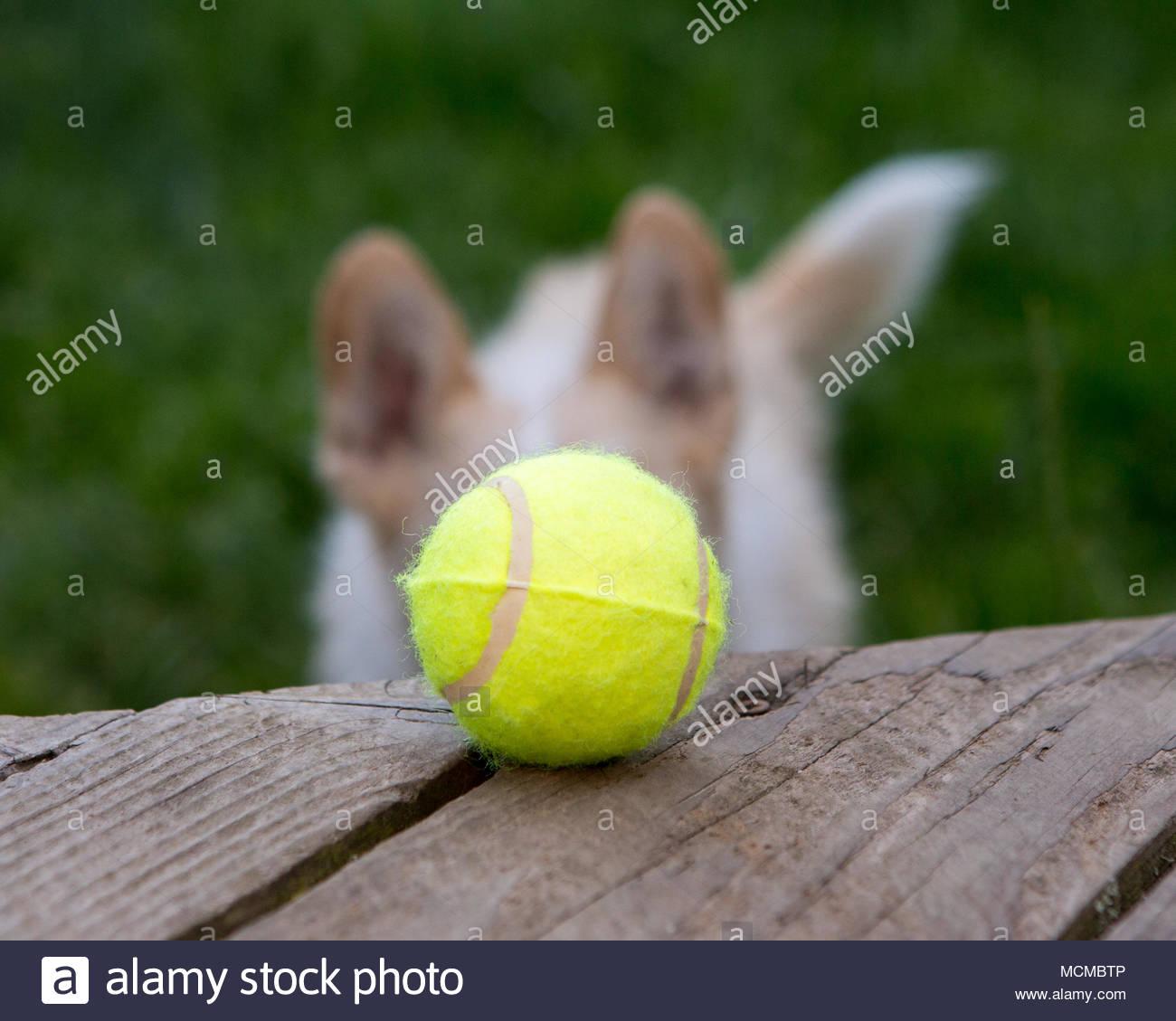 In der Nähe von Tennis Ball auf die Holzterrasse mit einem Hund mit großen Ohren, die in den Hintergrund verschwommen sehen Stockbild