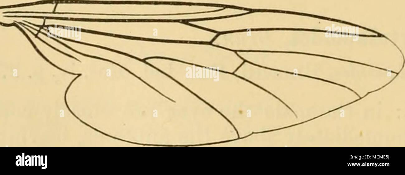 . Abb. 18.- Bibio ohscuripennis. Meij.. Flügel. Hinter erscheinen grau - an den Gelenken gespitzt gesehen. Bei weiblichen die Eisen viel mehr als ein Drittel der Breite der Kopf, Haare schwarz. Thorax ganz schwarz glänzenden, mit der äußersten vorderen Ecken des Dorsum sehr eng rötlich braun; dorsum und prothorax mit dichten, sehr dunkel braune Haare. Stockbild