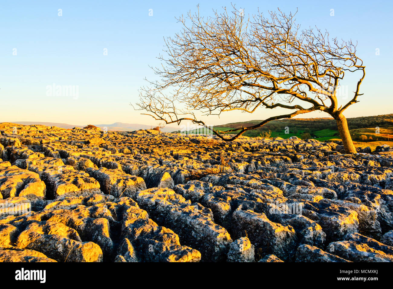 Esche aus Kalkstein Plasterung auf Farleton fiel, Cumbria wachsende Stockbild
