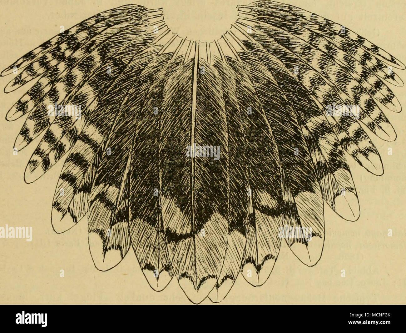 riesige schwarze Schwanzbilder