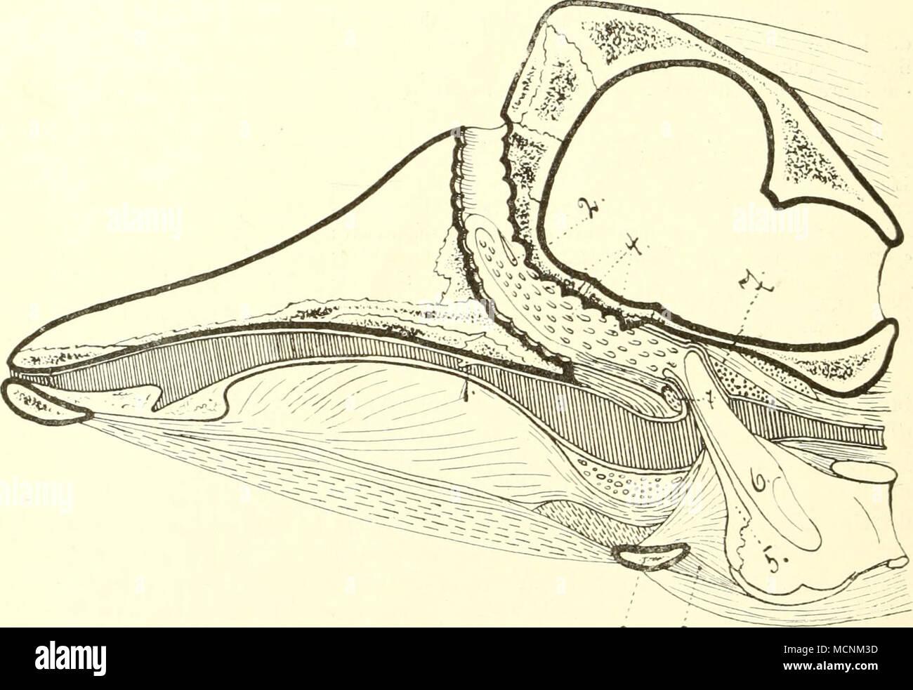 Pharynx Epiglottis Stockfotos & Pharynx Epiglottis Bilder - Alamy