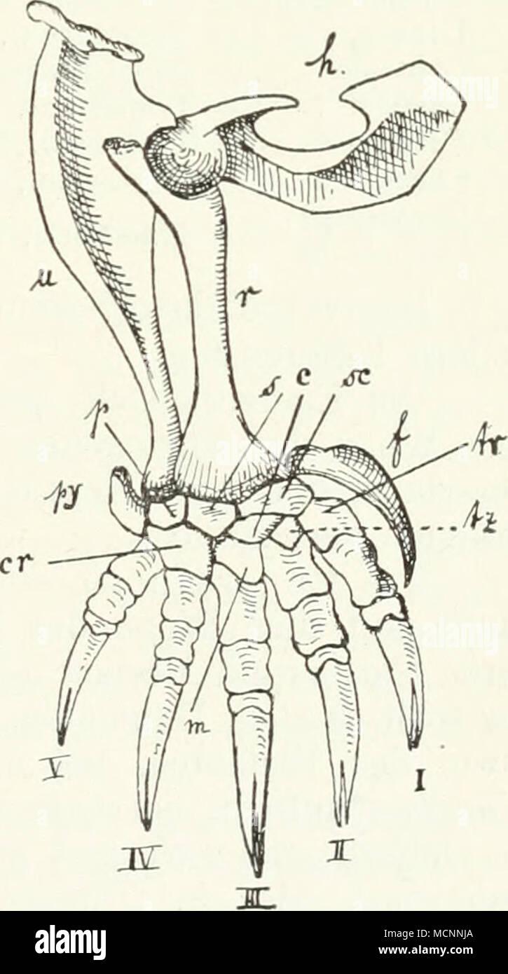 Ungewöhnlich Karpalknochen Anatomie Fotos - Menschliche Anatomie ...