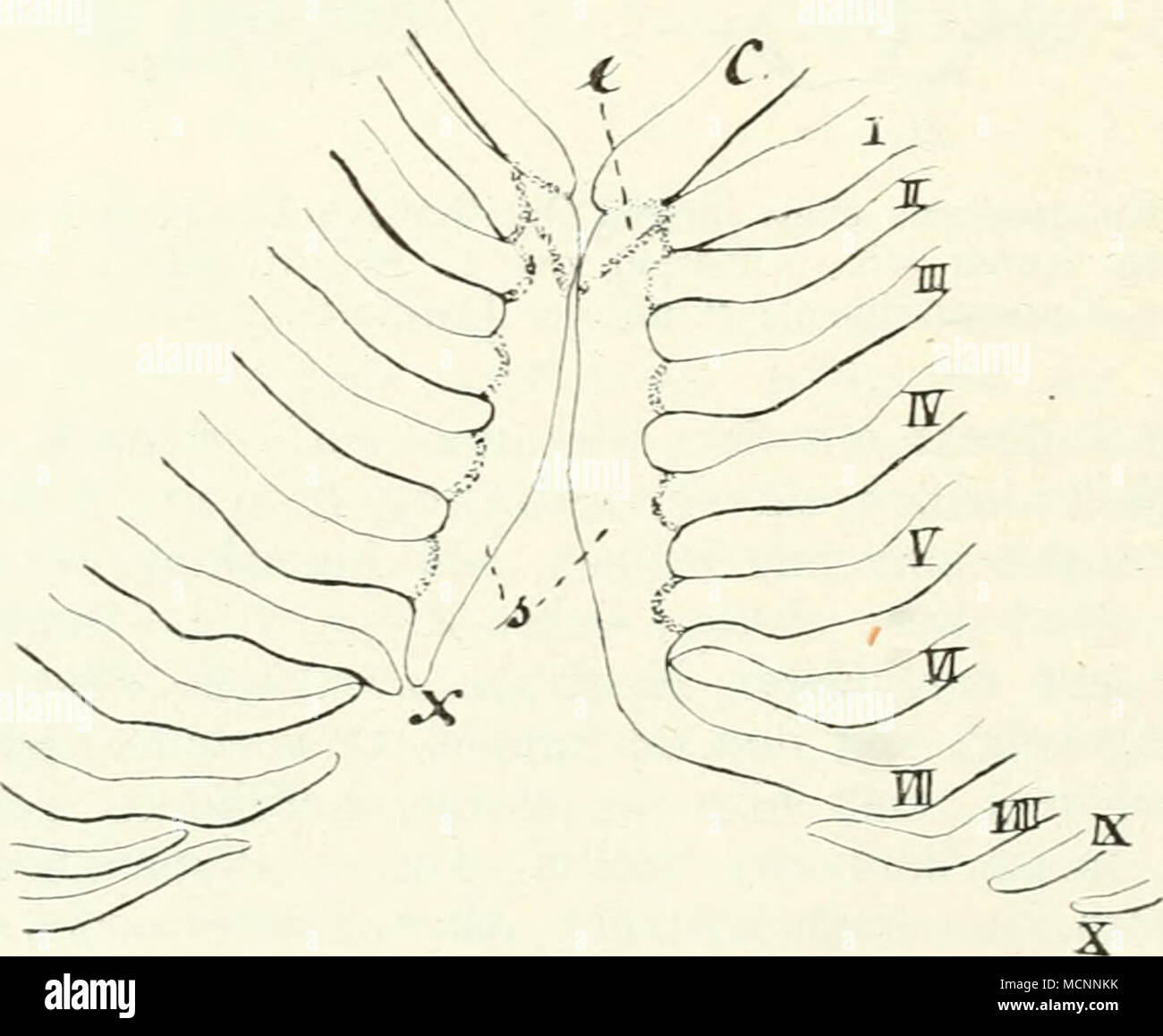 Berühmt Menschliche Anatomie Brustbeins Galerie - Menschliche ...