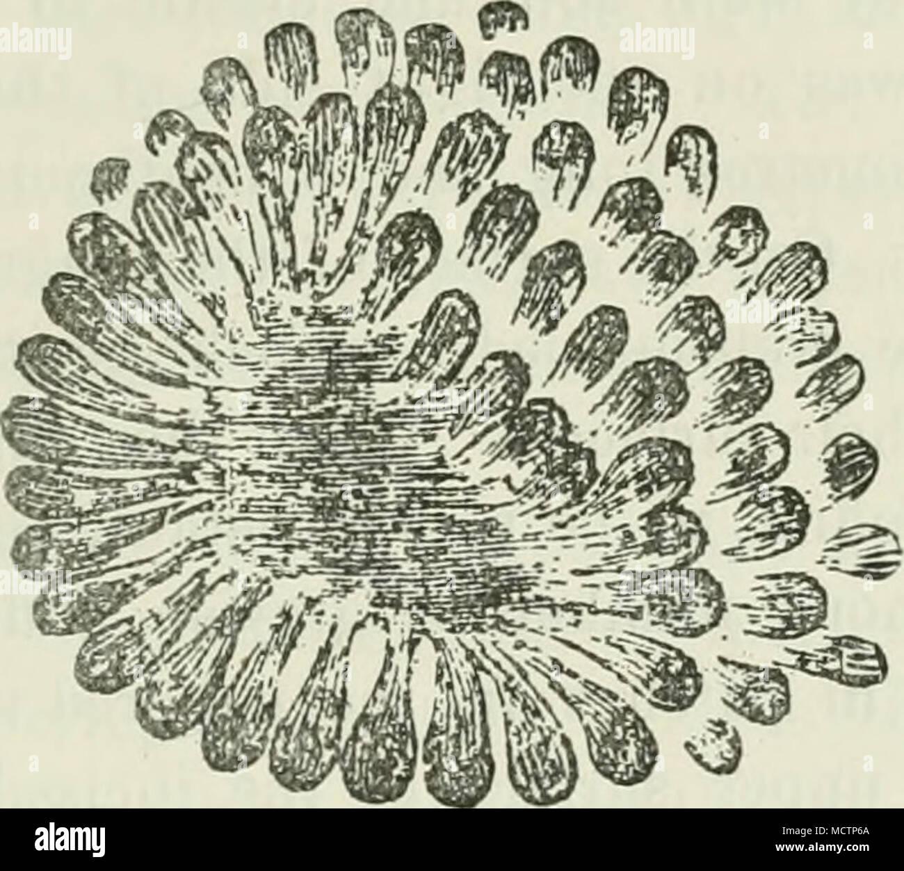 Abb. 35.- Büschel von Aktinomyceten, Hochvergrößernde. Die Orgel nur ...