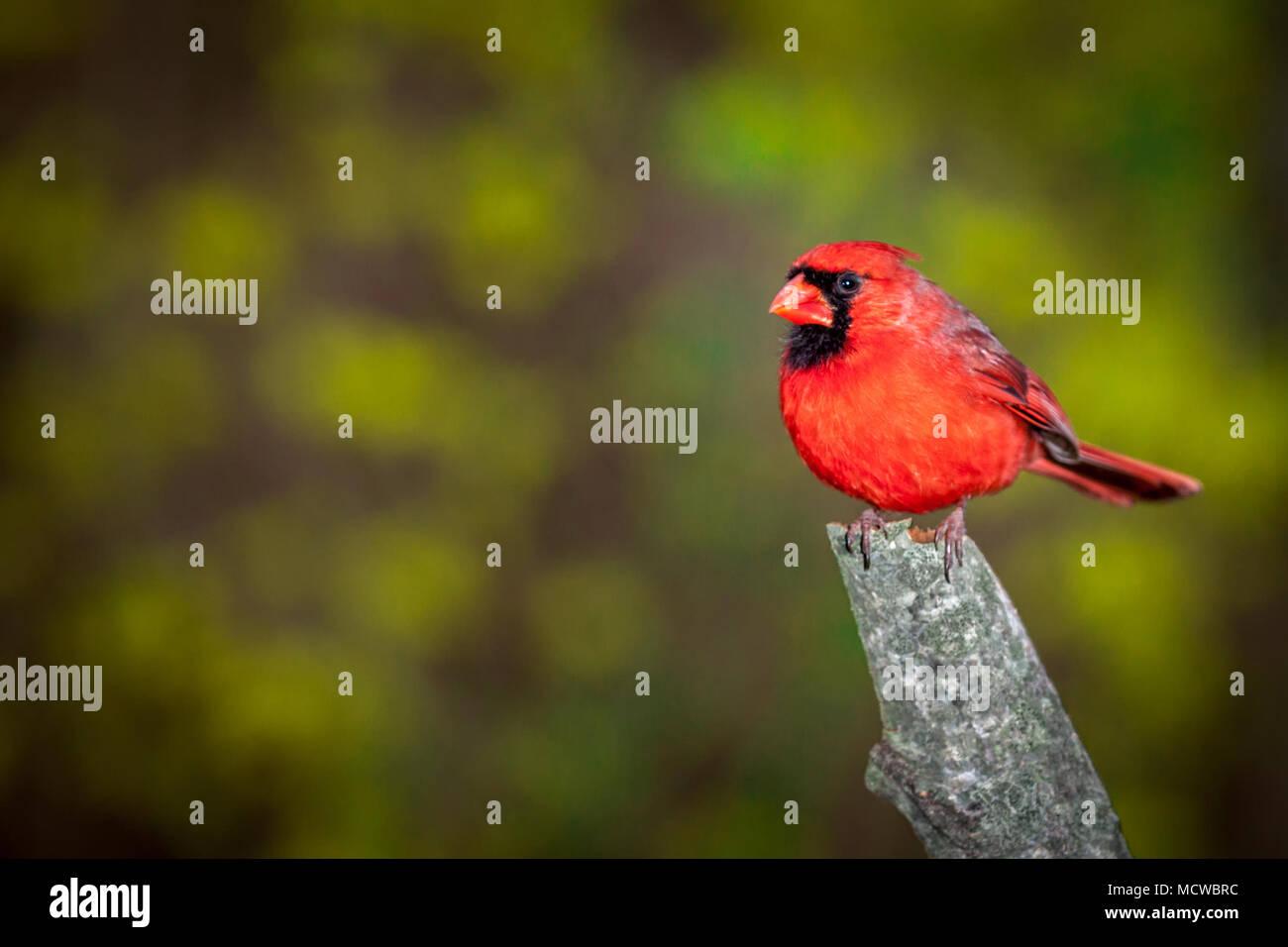 Männliche nördlichen Kardinal thront auf einem Zweig gegen einen unscharfen Hintergrund Stockbild