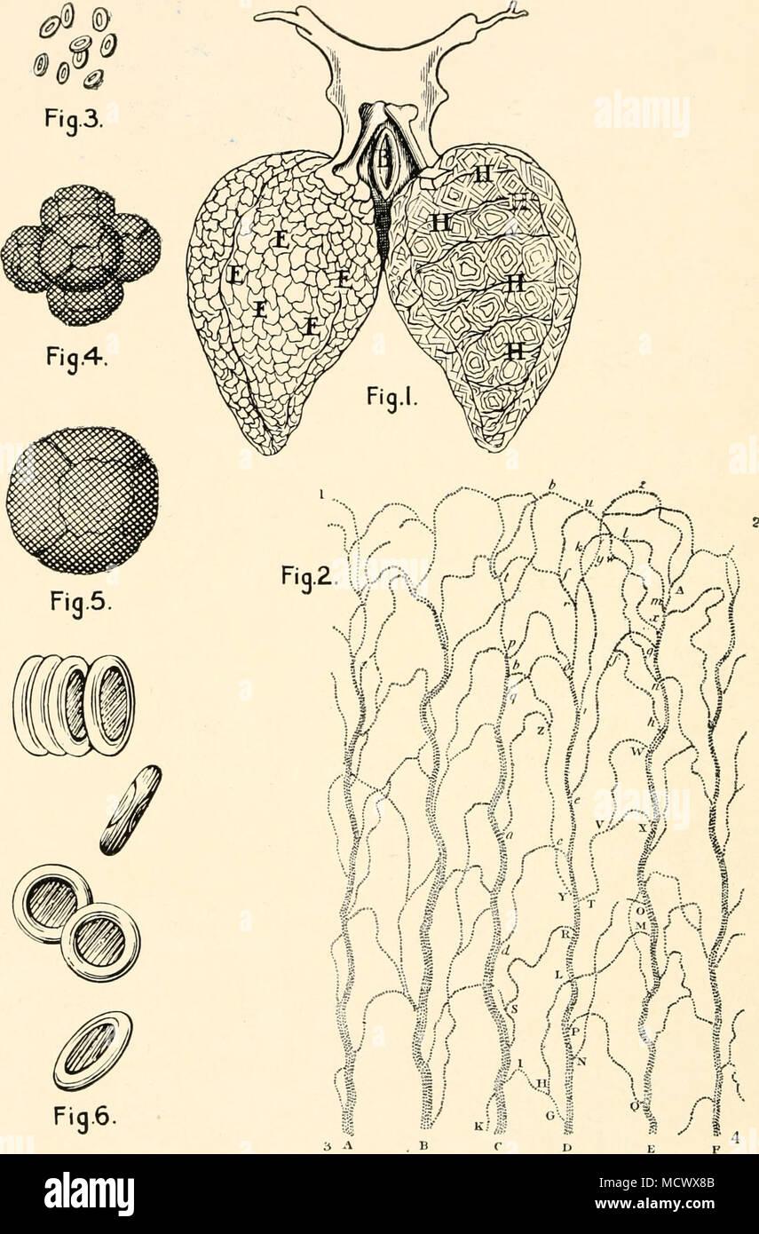 Abb. 6. Abb. i. Lunge von Frosch, vergrößert, die Kapillaren. Von ...