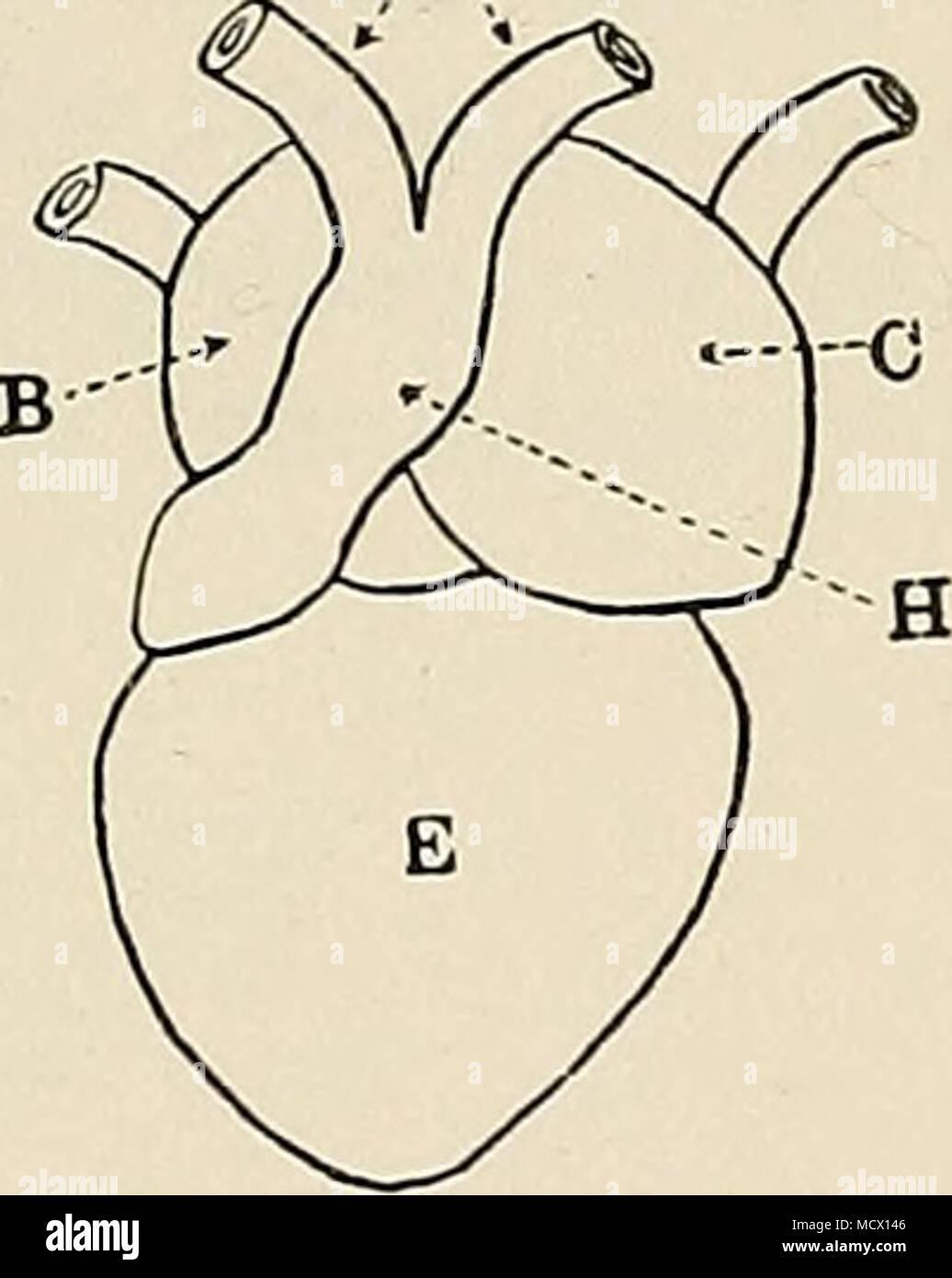 B ig. 12. Die grobe Anatomie der Frosch\