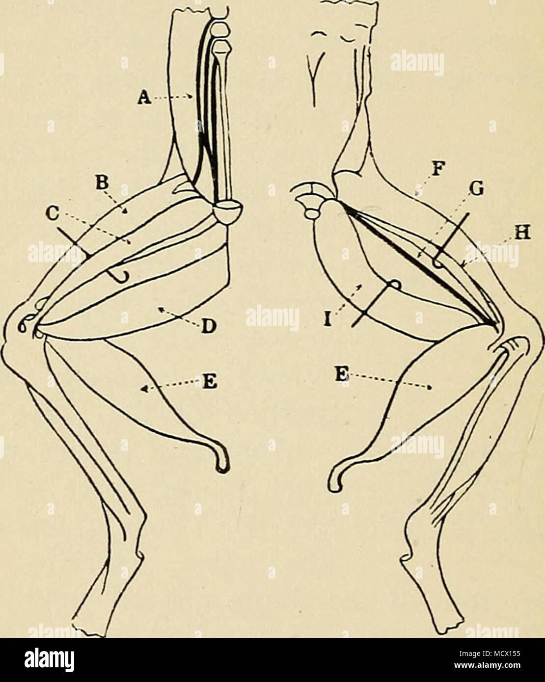 Berühmt Frosch Dissektion Innere Anatomie Galerie - Menschliche ...