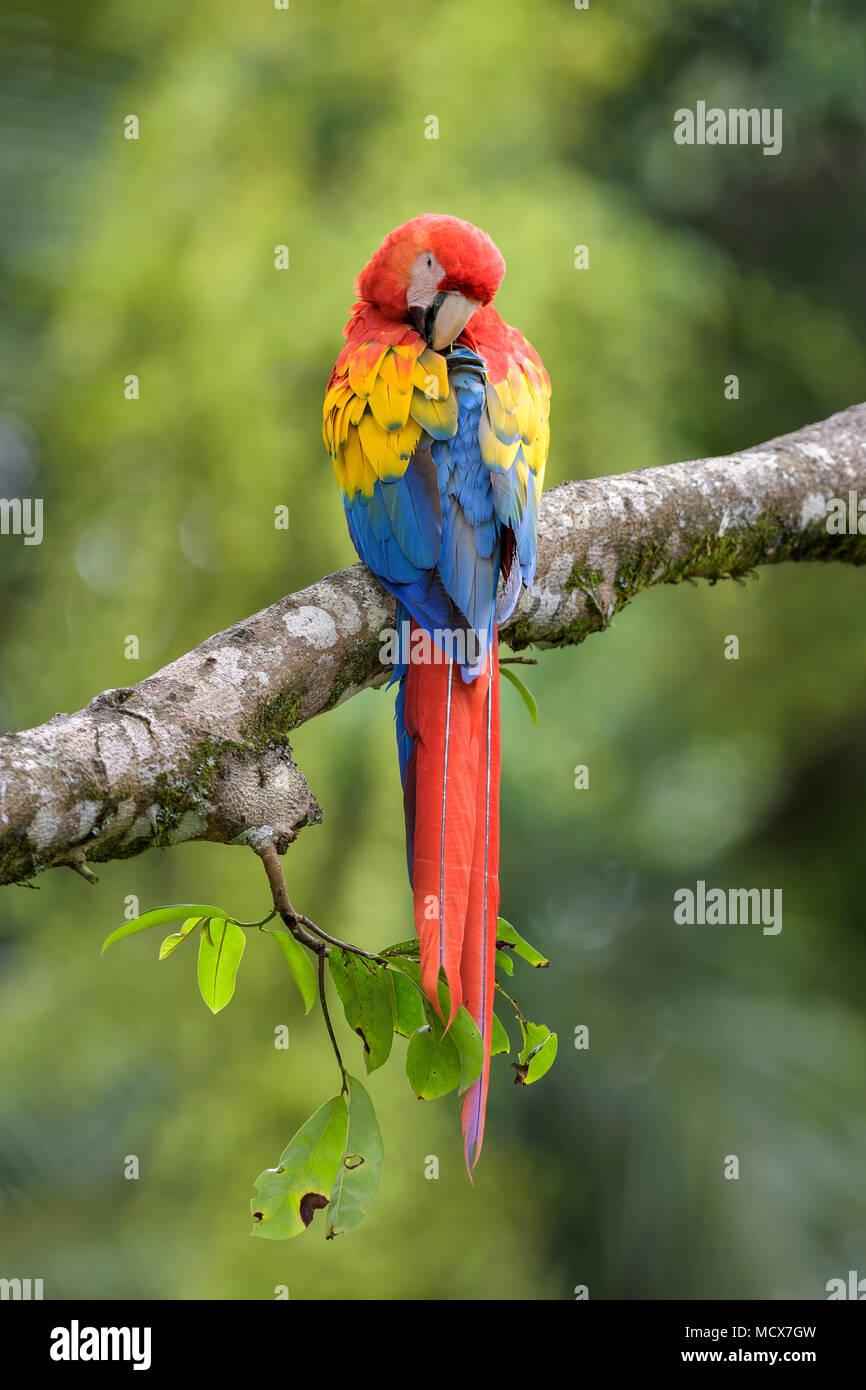 Hellrote Ara - Ara macao, große schöne bunte Papagei aus Mittelamerika Wälder, Costa Rica. Stockbild