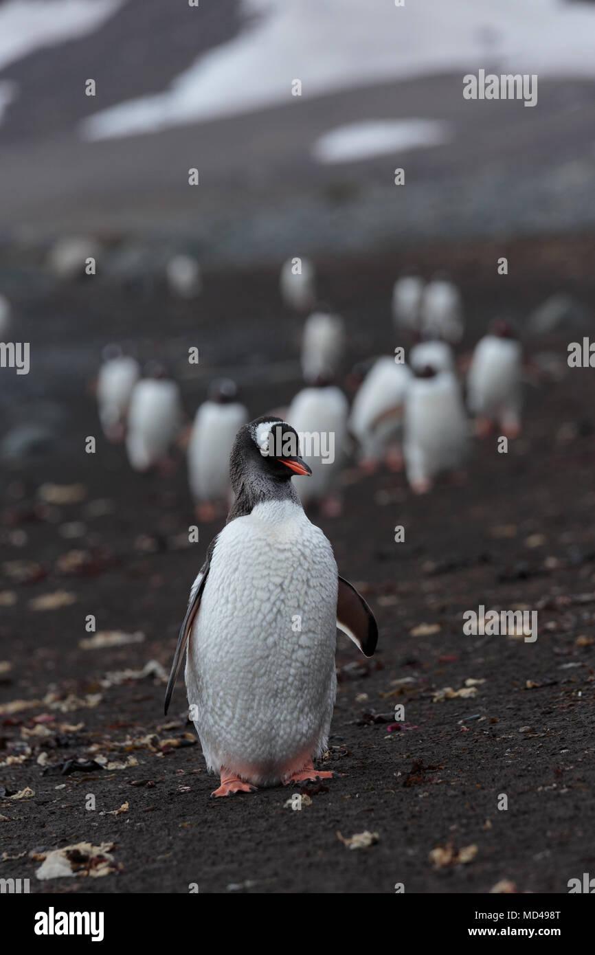 Ein Pinguin führt eine lange Prozession entlang einer schwarzen vulkanischen Sand Strand auf der Antarktischen Halbinsel Stockbild