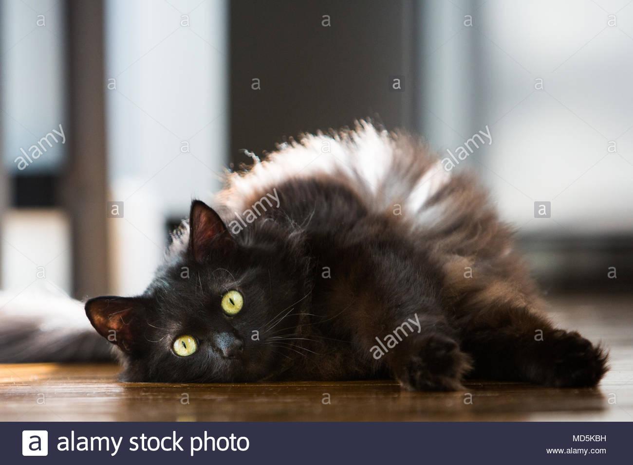 Schwarze langhaarige Katze mit grünen Augen liegen auf der Seite mit dem Pfoten mit Blick in Richtung Viewer Stockbild