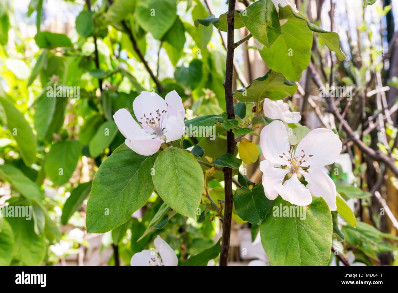 "Blumen der Quitte Baum, Cydonia Oblonga ""Champion"". Stockbild"