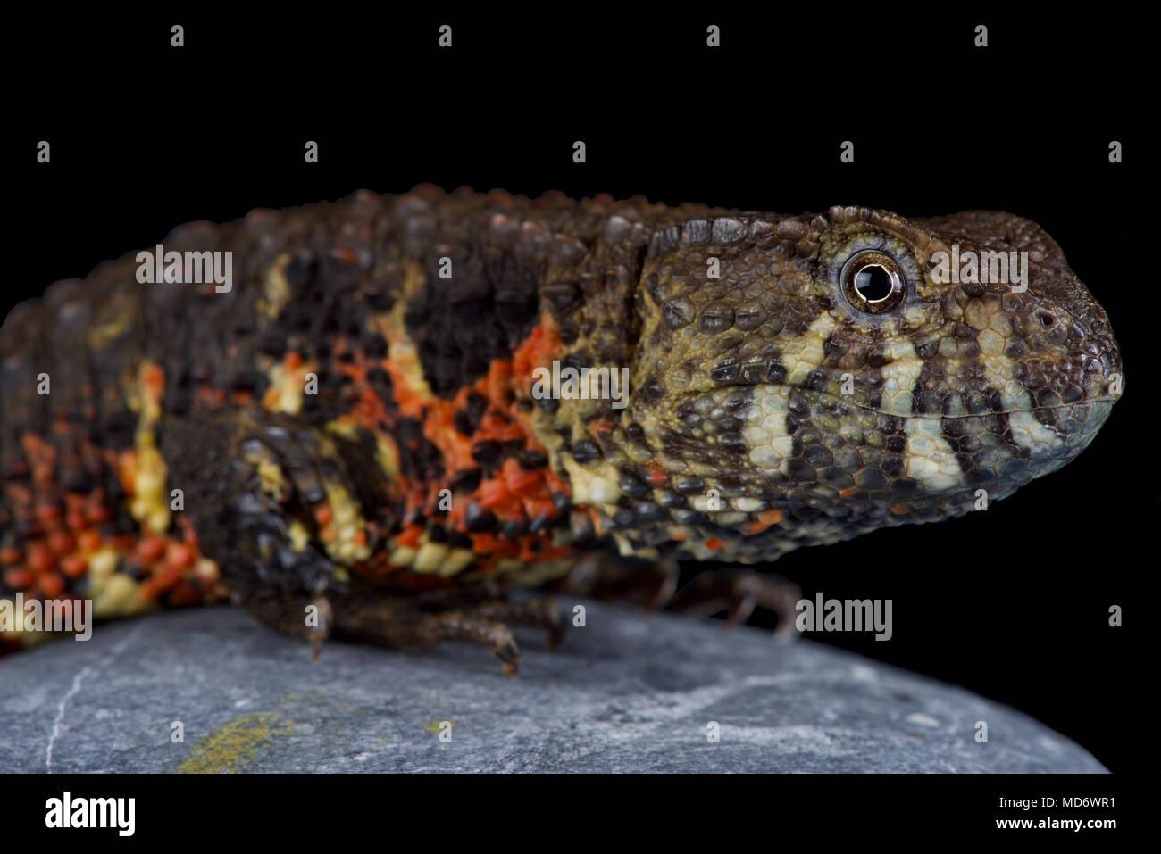 Die vietnamesischen crocodile Lizard (Shinisaurus crocodilurus vietnamensis) wurde erst vor kurzem entdeckt und im Jahr 2016 beschrieben. Bevölkerung Schätzung ist 800 adul Stockbild