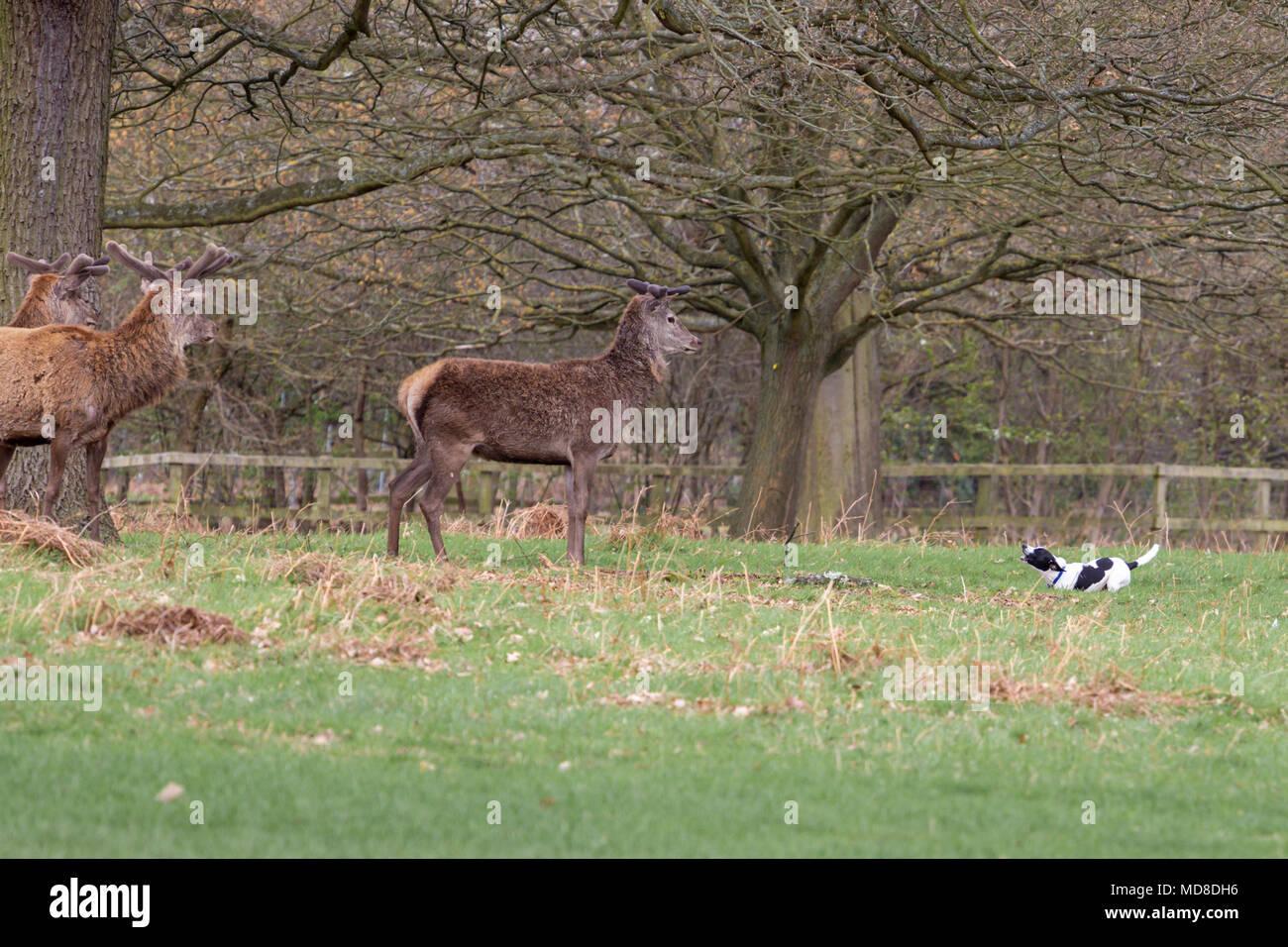 Ein Hund wird aggressiv und belästigend Rotwild im Richmond Park, London. Die Besitzer sind gewarnt, ihre Hunde an der Leine zu halten eine solche Konfrontation zu vermeiden. Stockbild