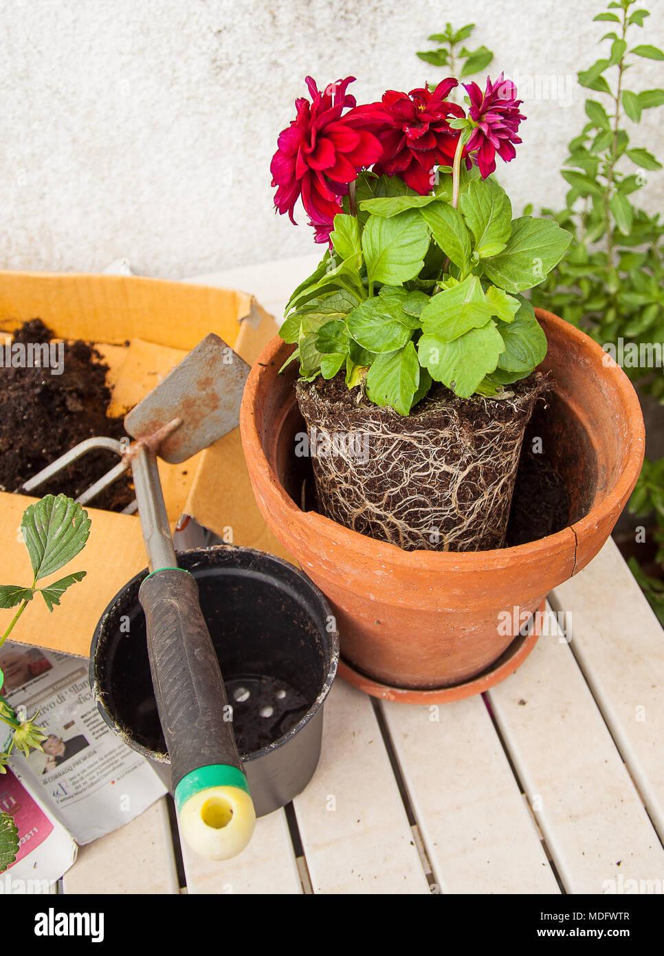 Die Arbeit In Der Balkon, Verpflanzung Pflanzen Mit Blumen Auf Dem Tisch,  Umgebungslicht.
