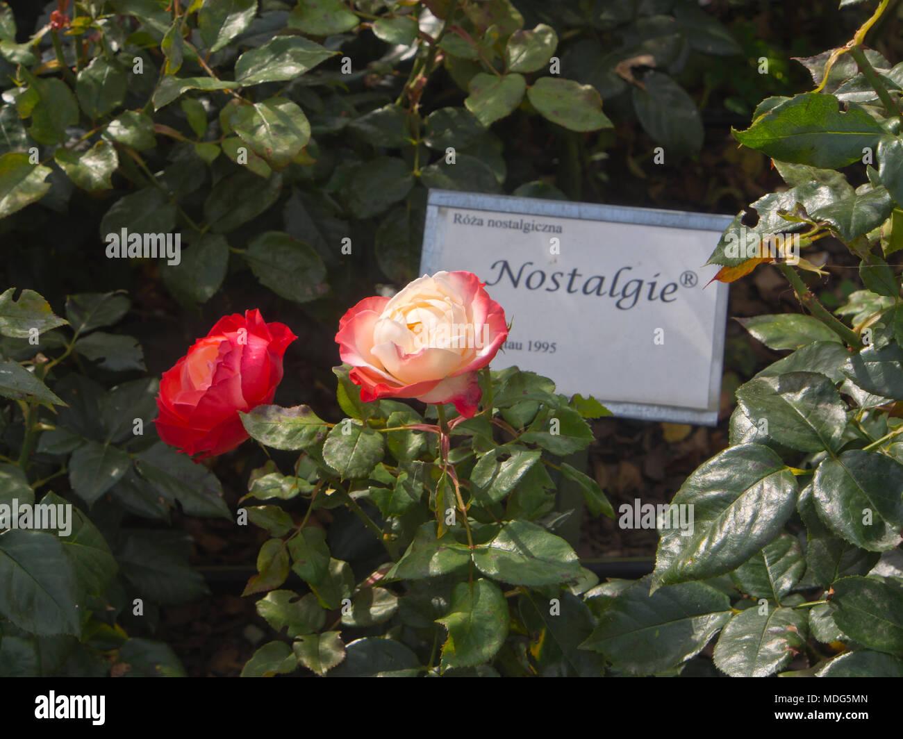 Die rose Nostalgie (tantau) in einem Park im Sommer Urlaubsort in der Nähe von Danzig, Sopot Polen an der Ostseeküste fotografiert. Stockbild
